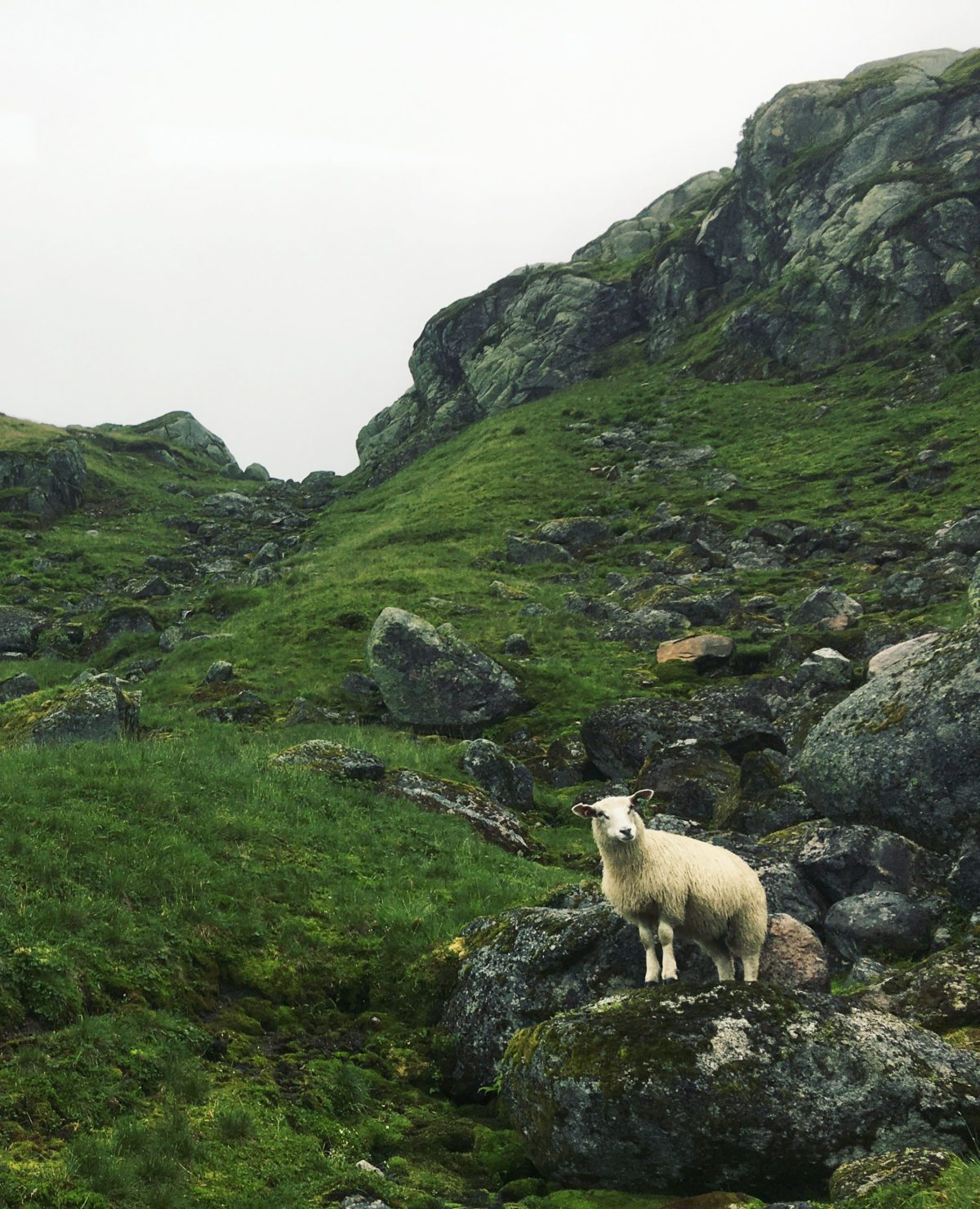 A sheep in the mountains.