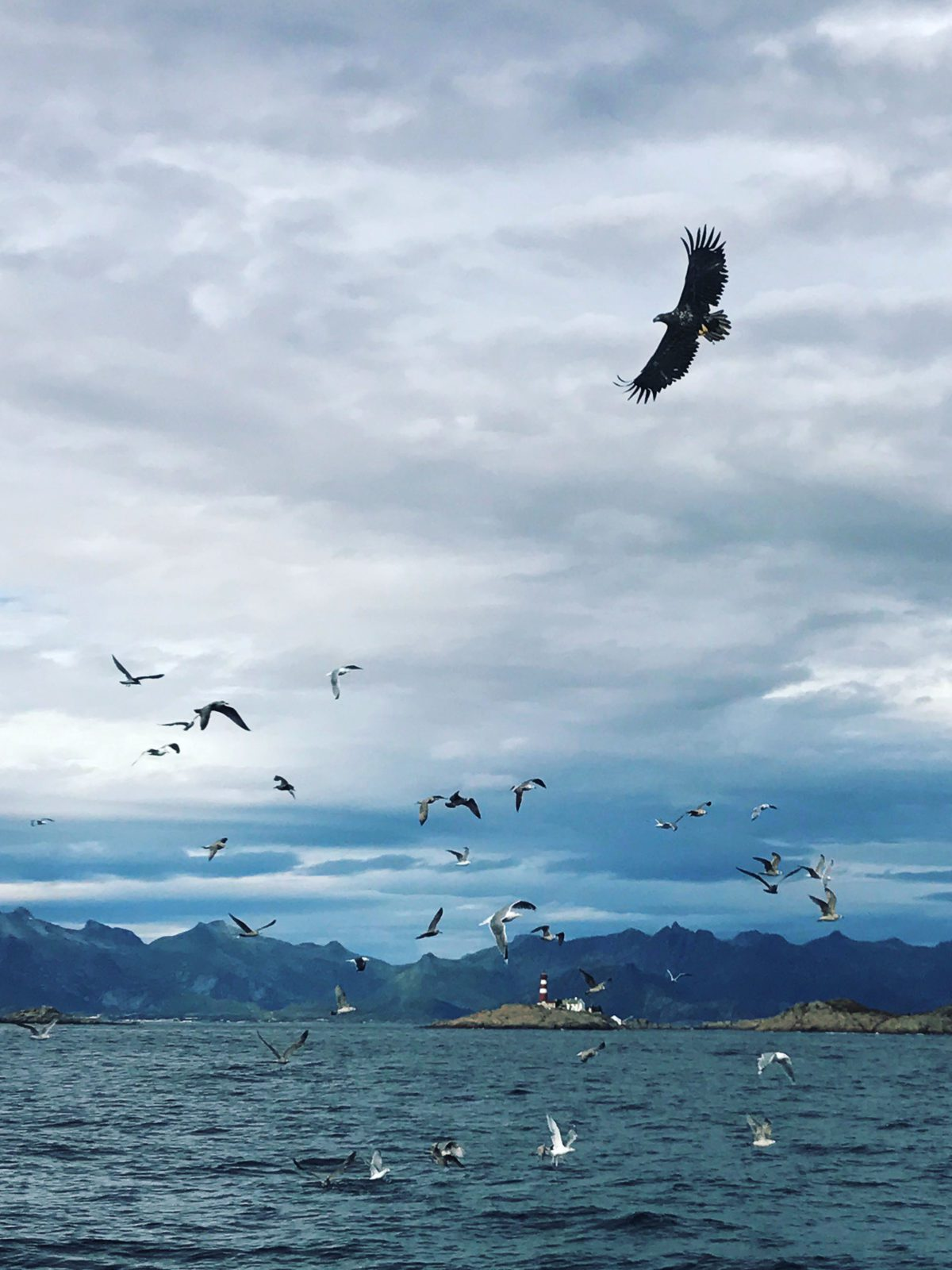 An eagle in Lofoten.