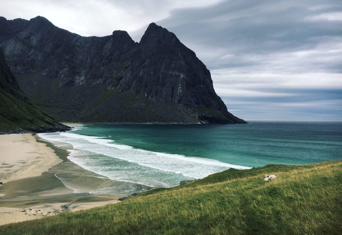 Sheep resting in Lofoten Norway