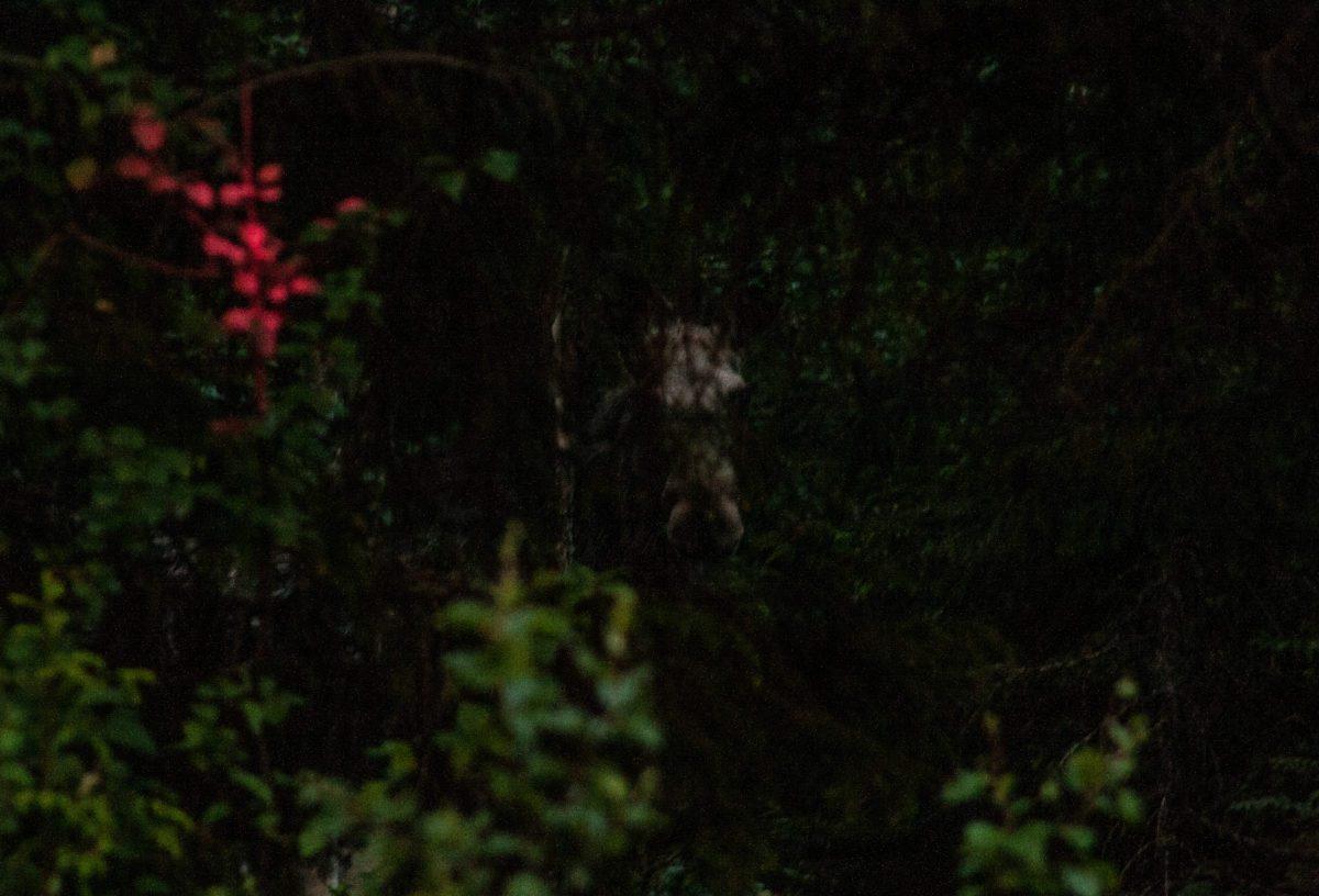 Moose in Norwegian forest.