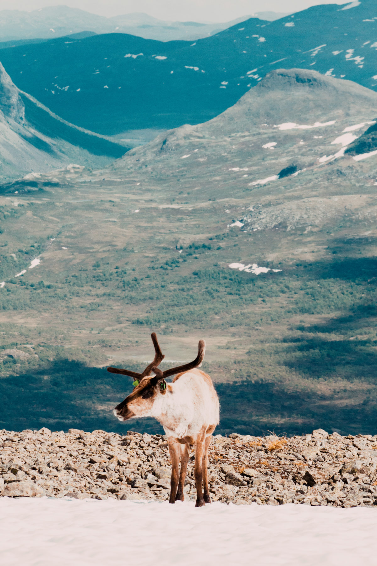Reindeer at Besseggen.