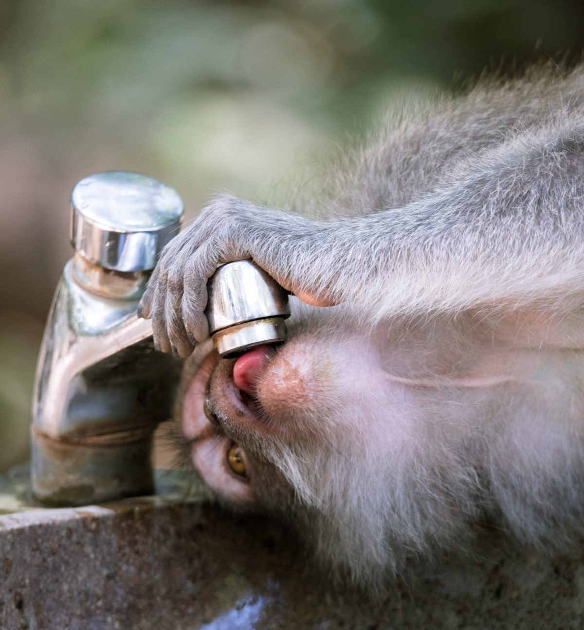 Monkey drinking at Sacred Monkey Temple Sanctuary