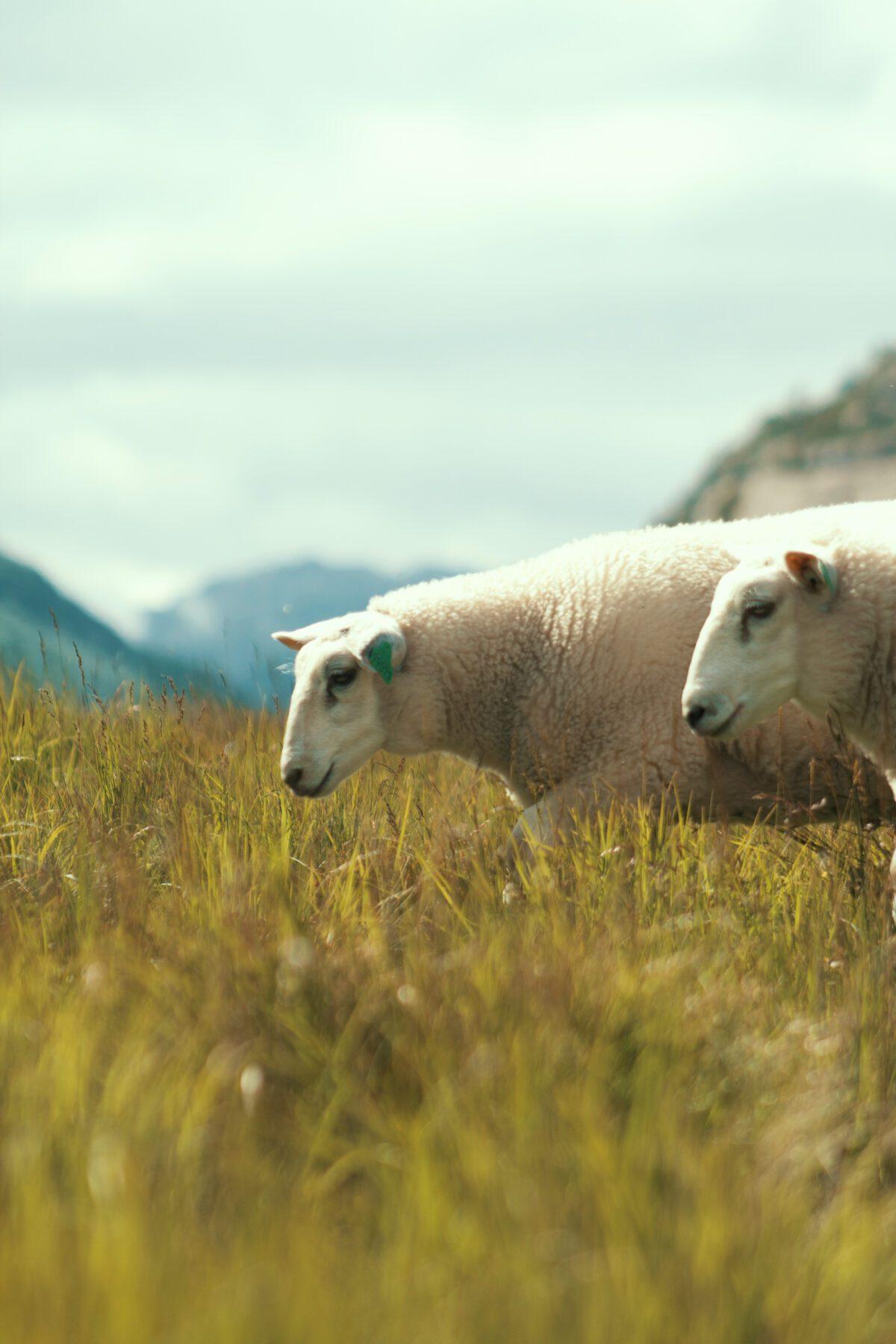 Sheep on Brokke–Suleskard road